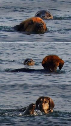 Dog & seal swimming together