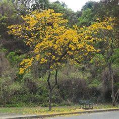 "66 Me gusta, 13 comentarios - Mara (@mara.jg) en Instagram: ""#Caracas #Venezuela #araguaney #arbolnacional #nationaltree #natureinthecity #ciudad_ve…"""