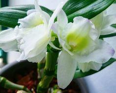 Dendrobium nobilé (orchidée)