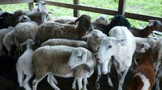 Por Qué es Importante la Producción Ovino-caprina en Colombia - TvAgro p...