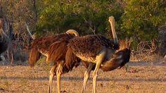 Twitter National Geographic Wild, African Safari, Live, Twitter, Animals, Animales, Animaux, Animal, Animais