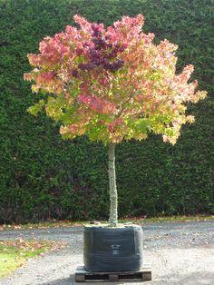 foto de Les 51 meilleures images de Liquidambar | Jardins, Arbre, Arbuste
