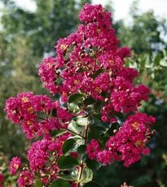 Lagerstroemia WITH LOVE ® 'Chérie' | Rustica.fr