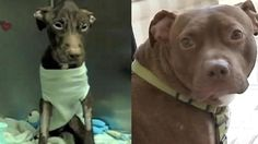 Patrick the pit bull. What a great story of survival.  Makes me sad to think what he went through but I am so glad he knows now that HE IS KIND,  HE IS IMPORTANT and HE IS WORTH IT!!!   ~~ All dogs are worth it and deserve to know <3  !!