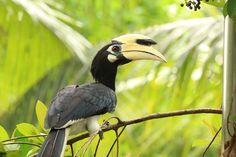 Hornbill on Pulau Ubin by Lucas Jahn on 500px