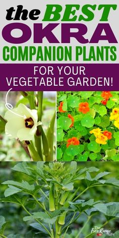 Do you love growing okra in your vegetable garden? Learn the best okra companion plants to get a better harvest with fewer pests and healthier plants! Includes okra companion plants for health, pests, and yield. Plus essential oils for okra! Growing Okra, Growing Peas, Growing Lettuce, Growing Vegetables, Vegetable Garden For Beginners, Backyard Vegetable Gardens, Gardening For Beginners, Succession Planting