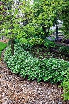 hostas backyard idea