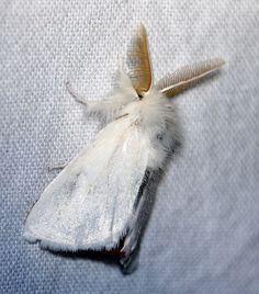 bastaardsatijnvlinder (Euproctis chrysorrhoea