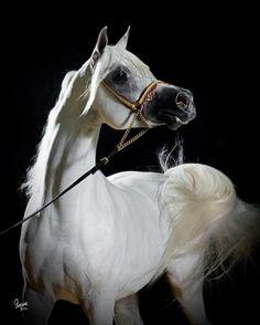 MISHAAL HP (DE) 1996 Grey Straight Egyptian stallion. Ansata Sinan {Prince Fa…