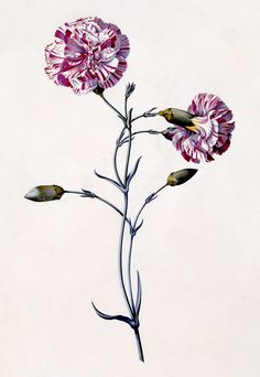 Carnation Painting - Carnation by Georg Dionysius Ehret