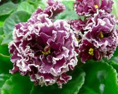 Double ruffled flower on African violet. Eastern exposure helps with flower production.