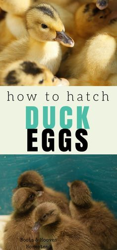 How to hatch duck eggs using an incubator. It's easier than you think! Raising Backyard Chickens, Backyard Poultry, Backyard Farming, Duckling Care, Hatching Chickens, Hatching Duck Eggs, Backyard Ducks, Raising Ducks, Chicken Incubator