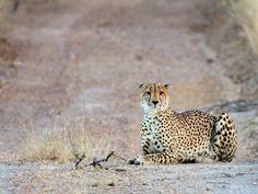 Roadside Cheetah seen during game drive at Gomo Gomo Game Lodge - Photo taken by BradJill