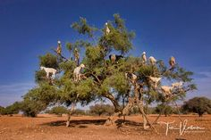 ? what happen here :-) ?  Tree goats - The poop of these Moroccan tree goats produces pricey argan oil. Join us on our next photo tour in October. http://ift.tt/2mtHsJI