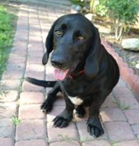 my Bassador! Half basset hound/half lab!