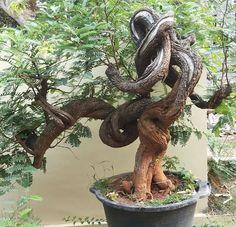 Bonsai Forest, Bonsai Art, Bonsai Plants, Bonsai Garden, Tamarindus Indica, Bonsai Styles, Miniature Trees, Permaculture, Agriculture