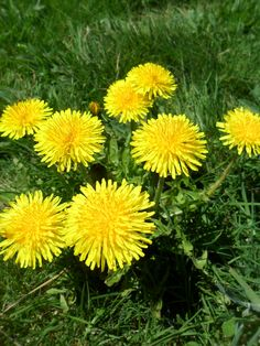 Dandelione (Apr to May)