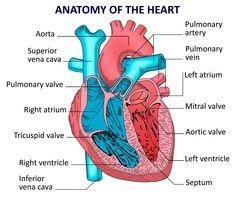 Human Anatomy Picture, Human Body Anatomy, Body Anatomy Organs, Anatomy Of The Body, Muscle Anatomy, Cardiac Anatomy, Medical Anatomy, Human Heart Diagram, Human Organ Diagram