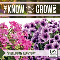 Have your petunias stopped blooming? Is something eating holes in the blooms on your Supertunia plant? Here's how to keep these bud worms away...> http://emfl.us/t5Ld