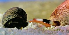 Cone snail (Mollusca: Gastropoda) about to eat...