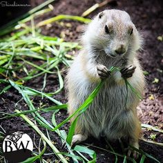 ⭕️VOLUNTEER OF THE DAY⭕️  Shin Nakamura @shinshinmaru Prairie dogs are the food source for many animals like coyotes, eagles, badgers and critically endangered black-footed ferrets. Prairie dogs also help aerate and fertilize the soil, allowing a greater diversity of plants to thrive.Conservation of prairie dogs is of great importance to the prairie ecosystem, If hunting continues, the populations will continue to drop and it will be disastrous for the ecosystem of the Great Plains.