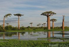 Travel to Madagascar Island. We do all your arrangements for popular Madagascar holidays. Enjoy the best Madagascar adventures, hotels, beaches on a budget Socotra, Top Travel Destinations, Places To Travel, Places To See, Baobab Tree, Baobab Oil, Baobab Seeds, Photos Voyages, Thinking Day