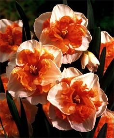 VAN ENGELEN: Narcissus Love Call - Split-Cup Narcissi - Narcissi - Flower Bulb Index