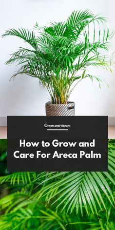 Palm Care Tips - How to Grow Dypsis lutescens How to Grow and Care For Areca PalmHow to Grow and Care For Areca Palm Palm House Plants, Potted Palm Trees, Potted Palms, Indoor Palm Trees, Indoor Palms, Palm Tree Plant, House Plants Decor, Palm Plants, Indoor Flowering Plants
