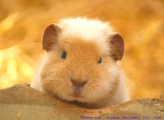 Cute guinea pig / Cobaya adorable