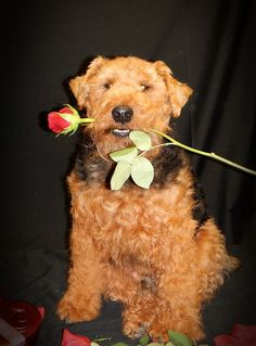 Welsh Terrier love-how cute is that! Welsh Terrier, Fox Terrier, Terriers, All Dogs, Best Dogs, Companion Dog, All Gods Creatures, Hunting Dogs, Little Dogs