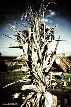 Fun With Corn in Brunswick