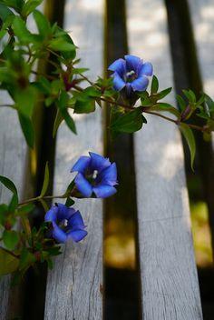 vine for my back fence