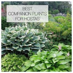 Hostas can hold their own in a shade garden, but pairing them with bulbs and other perennials will accentuate their natural beauty and extend the season. shade garden 12 Best Companion Plants for Hostas Shade Garden Plants, Hosta Plants, Shade Perennials, Best Shade Plants, Hostas For Shade, Sun Hostas, Ground Cover Plants Shade, Plants That Like Shade, Shaded Garden