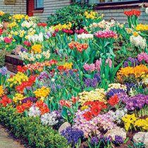 Sun Perennials: Beginner's Endless Bloom Perennial Garden - Spring Garden, Bulb Flowers, Plants, Spring Bulbs Garden, Endless Blooms Perennial Garden, Garden Bulbs, Perennial Garden, Gardening For Beginners, Natural Garden