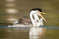 2013 Photo Awards Top 100 | Audubon Magazine Clark's grebe, by Robert Lewis