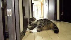 【動画あり】 猫パンチの威力wwwwwww ネタめし.com
