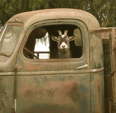 "I'll drive!...  once we asked for directions, was told ""turn right when you see the goat on the pick-up!"" That goat would run & jump up on the roof of an old truck to meet every car at the end of his road. too cute!"