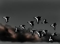 Oystercatchers by Zimmergimmer, via Flickr