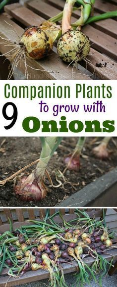 Growing Onions, Companion Planting, Companion Plants for Onions, Gardening, Gardening Hacks, Gardening 101, Onion Tips #vegetablesgardening #GardenPlants