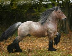 Belgian Brabant stallion Wino. Ouch, what a name. photo: Gosia Mąkosa Equine Art Photography.
