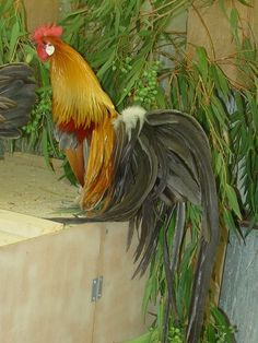 Fabulous looking rooster.
