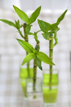 Kokospalme ist eine bewundernswerte gr npflanze f rs zuhause for the home pinterest - Pflegeleichte zimmerpflanzen mit bluten ...