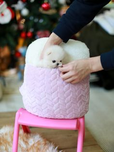 Welcome to FouFou Puppies. The Home of the World's Most Exquisite Micro Teacup Puppies for Sale. Contact Us Today to Reserve Your Teacup Puppy! Micro Pomeranian, Mini Puppies, Cute Baby Puppies, Teacup Puppies For Sale, Cute Pomeranian, Black Lab Puppies, Corgi Puppies, Puppy Images, Cute Puppy Pictures