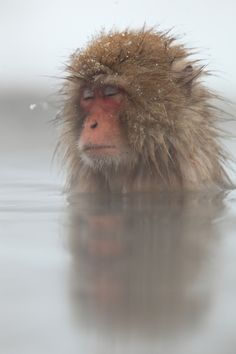 Blissed out snow monkey All About Animals, Types Of Animals, Animals And Pets, Baby Animals, Cute Animals, Primates, Mammals, Beautiful Creatures, Animals Beautiful