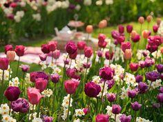 Spring Combination Ideas, Bulb Combinations, Plant Combinations, Flowerbeds Ideas, Spring Borders, Tulip Blue Diamond, Narcissus Geranium,Tulip 'Blue Diamond,Tulip 'Menton',Tulip 'Negrita', Tulip 'Lilac Perfection',Tulip 'Blue Heron'