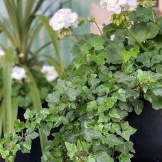 Toukokuu ja kesää kohti, ihanat ensimmäiset kesäkukat☺️ #kivitalo#omapiha #kesäkukat Herbs, Herb, Medicinal Plants
