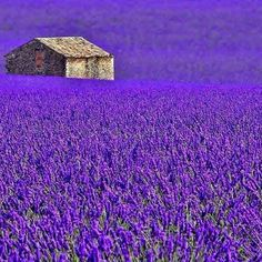 Lovely sea of lavender surrounding  shed.