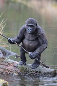 Gorilla (Okay, doesn't he look like any other frustrated fisherman? Primates, Mammals, Funny Animals, Animals And Pets, Cute Animals, Baby Animals, Beautiful Creatures, Animals Beautiful, Baby Gorillas