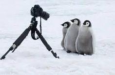 「ペンギン ヒナ 面白い」の画像検索結果