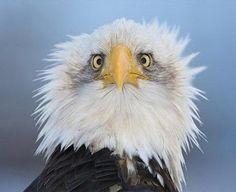 орел анфас | Вот почему орлов на гербах чаще всего ...